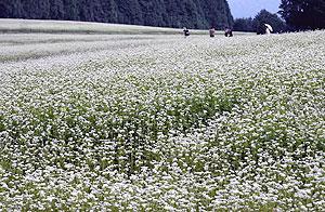 白色の花が一面を埋めつくすソバ畑=中津川市坂下の椛の湖自然公園で