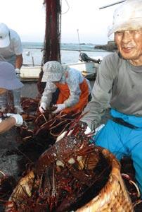 初水揚げされた伊勢エビを網から外す下流地区の漁業者ら=17日午前5時45分、南伊豆町で