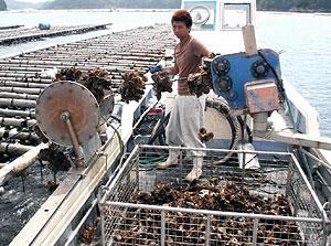 カキのシーズン到来。次々と引き揚げられるカキ=鳥羽市浦村町の生浦湾で