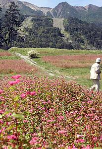 山頂を望む一帯を赤く染めているソバの花=木曽町三岳の御岳ロープウェイで