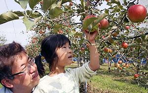 リンゴ狩りを楽しむ家族連れ=高島市マキノ町のマキノピックランドで