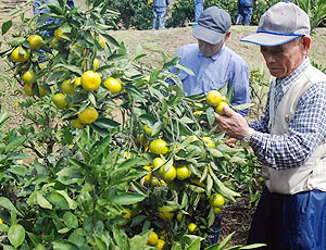 黄色く色づいたミカンの作柄を確かめる部会員=多気町五桂の五桂池ふるさと村で