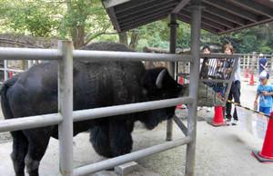 アメリカバイソンの巨体を間近で見られる日曜日の特別展示=名古屋市千種区の東山動物園で