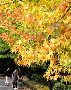 駆け足で秋色に染まるモミジバフウ=21日午後、浜松市浜北区の県立森林公園で