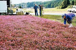 ピンクのじゅうたんのように咲くヒメツルソバの花=志賀町和田で
