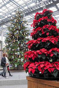 ポインセチアのツリーがクリスマスの雰囲気を盛り上げる温室=安城市のデンパークで
