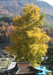 黄色に色づいてきた大イチョウ。手前は鎌倉時代に建立された福徳寺本堂=大鹿村で