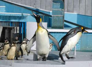 新たに仲間入りした2羽のキングペンギン=志摩市の志摩マリンランドで(同館提供)