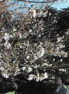 淡い色合いの花を咲かせる神宮美術館前の四季桜=いずれも伊勢市神田久志本町で