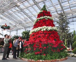 クリスマスを前に登場したポインセチアのジャンボツリー=2日午後、浜松市西区舘山寺町で(山田英二撮影)