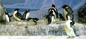 22羽のヒナ誕生でにぎわいを見せるペンギンの水槽=名古屋港水族館で