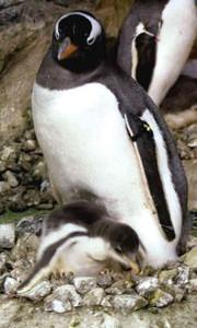 ジェンツーペンギンの親と生後間もないヒナ(下)=名古屋港水族館で