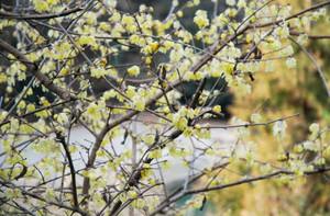 黄色い花が陽光に輝くロウバイ=天龍村で