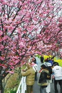 そぞろ歩きで淡いピンクの花々を楽しむ観光客ら=7日、河津町の河津川沿いで(山谷道尚撮影)