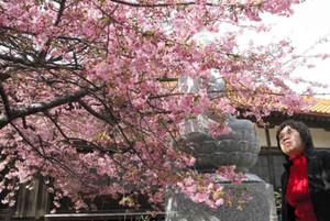 色鮮やかに咲き誇る「てんれい桜」=志摩市の大慈寺で
