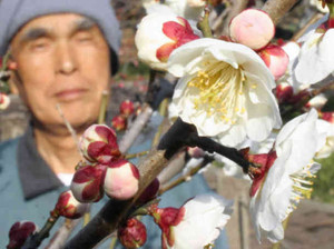 見ごろを迎え、甘酸っぱい香りを漂わせる臥竜梅=伊勢市の新開臥竜梅公園で