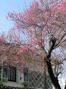 ピンクの花が開き始めた紅梅の古木=飯田市仲ノ町で