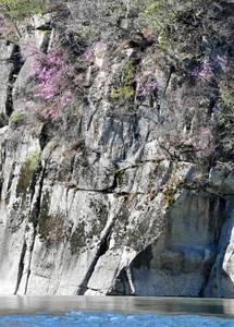 岸壁に自生する色鮮やかなミツバツツジ=泰阜村の天竜川で
