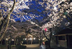 ライトアップに浮かび上がった桜=大紀町滝原で