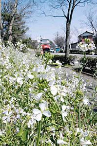 風に揺れるハマダイコンの花=白山市平加町で