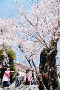 「桜丸の夫婦桜」に見入る参加者ら=飯田市追手町で