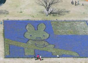 ムスカリの開花で輪郭が分かるようになった「ミッフィー」の花絵花壇=海津市海津町で