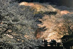ライトアップされ幻想的に浮かび上がる桜並木=大津市三井寺町で