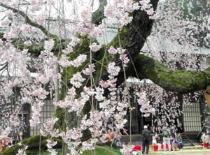 舞台校舎をバックに映えるオミノサトブタイザクラ=飯田市で