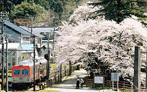 今秋で廃止となる加賀一の宮駅に隣接し、見事な桜が楽しめる古宮公園=白山市で