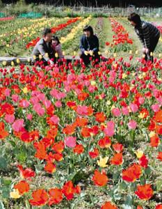 住民が育てた鮮やかな色のチューリップが咲く祭り会場=米原市上丹生で