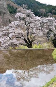 水面に映る姿とつながり1本に見える「駒つなぎの桜」=阿智村で