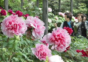 見ごろを迎え、華やかに庭園を彩るボタン