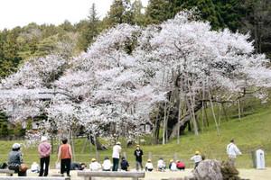 満開に咲く臥龍桜を見上げる花見客ら=高山市一之宮町で