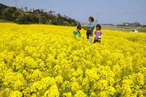 黄色い花に埋め尽くされた菜の花畑=美浜町興道寺で