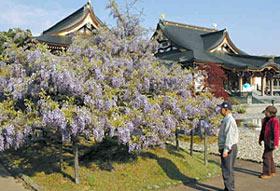 大伽藍をバックに映えるフジ=津幡町竹橋の倶利迦羅不動寺で
