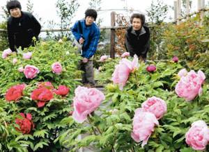 見ごろを迎えた色鮮やかなボタン=日野町鎌掛の日野ダリア園で