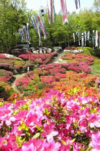 色鮮やかに咲き誇るキリシマツツジ=松川町で