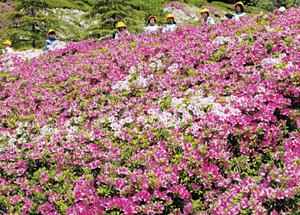 咲き誇る白やピンクのツツジ=高岡市笹八口の水道つつじ公園で