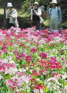 公園一帯を鮮やかな色で染めるクリンソウ=喬木村の九十九谷森林公園で