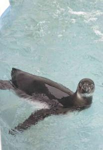大好きな水遊びに興じるフンボルトペンギンの「陸」=飯田市立動物園で