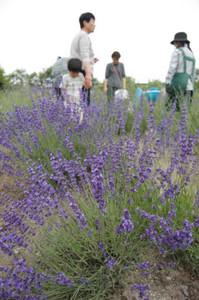 約400株のハーブが咲き誇る畑=長浜市宮司町で