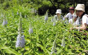 青紫色の花を咲かせたエチゴトラノオ=越前町の福井総合植物園プラントピアで