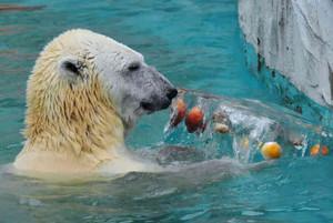 リンゴやオレンジが入った氷のプレゼントに喜ぶホッキョクグマ=名古屋市千種区の東山動物園で