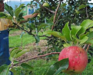 降ひょうの被害を受けたリンゴ。表面に傷がついている=松本市今井で