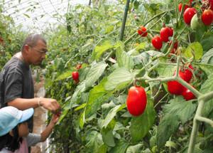 食べごろのミニトマト狩りを楽しむ人たち=大桑村殿で