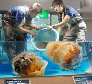 石川県から運び込んだエチゼンクラゲを展示用の水槽に移す職員たち=碧南市の碧南海浜水族館で