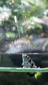 口から水を発射し、餌を撃ち落とすテッポウウオ=名古屋市港区の名古屋港水族館で