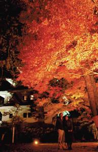 色づいた葉が白壁に映えるモミジのライトアップ=郡上市八幡町の郡上八幡城で