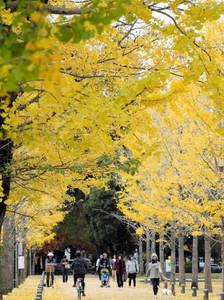 鮮やかに色づき、見る人を楽しませるイチョウ並木=各務原市那加雲雀町の「学びの森」で