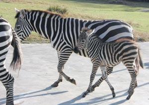 親に寄り添って歩くシマウマの赤ちゃん(右手前)=浜松市西区の市動物園で